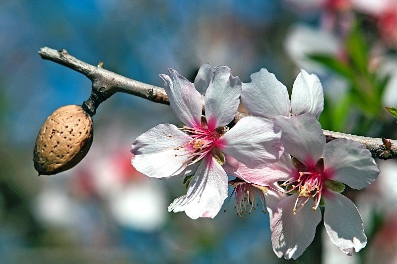almond tree with fruit and blossoms