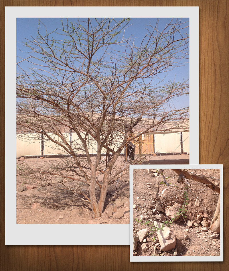 Acacia tree starting to bud in front of the Tabernacle